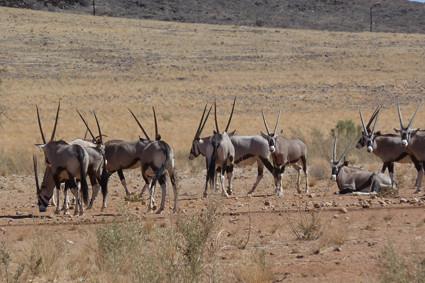 Oryx-Herde in Namib Rand