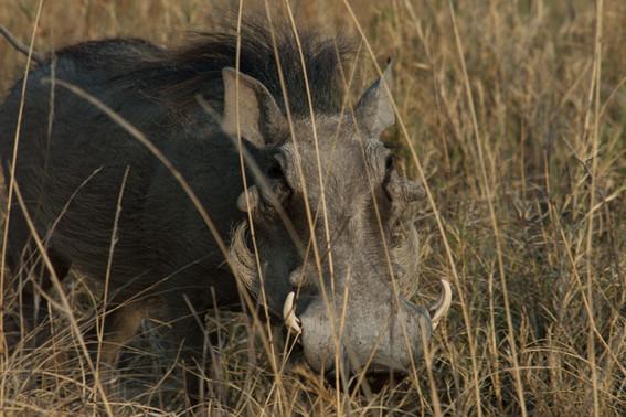 Warzenschwein am Pans Edge