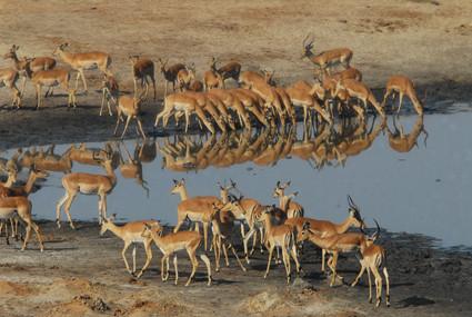 Impala-Herd am Masuma Dam