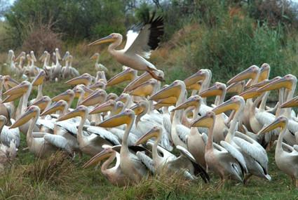 Pelikane im Nkasa Lupala Nationalpark
