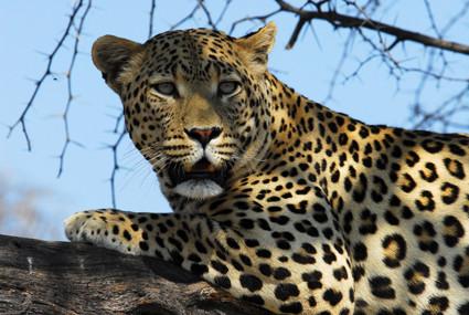 Leopard in Düsternbrook