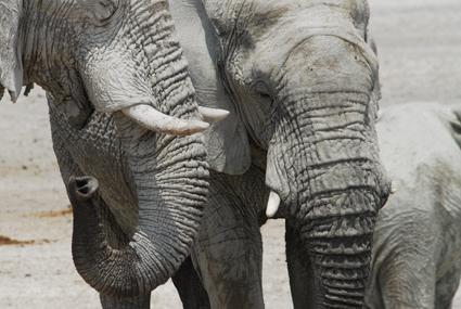 Elefanten in Eotsha