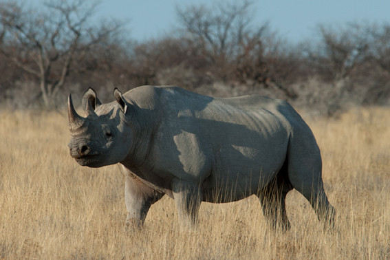Black Rhino am Etosha Turn-Off