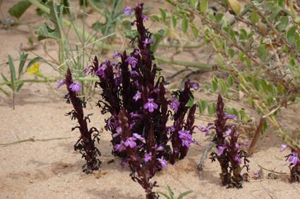 Kalahari-Blüten