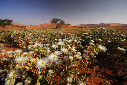 Mittagsblumen (Mesembs) in der Namib
