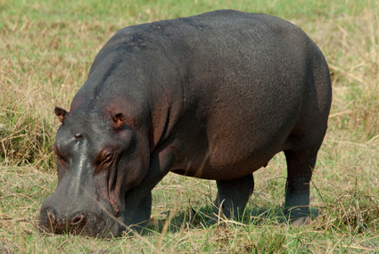 Hippo im Nkasa Lupala Nationalpark