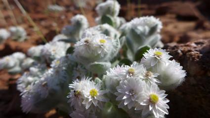 """""""Südwester Edelweiß"""" (Helichrysum roseo niveum)"""