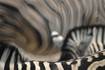 Zebras ganz nah
