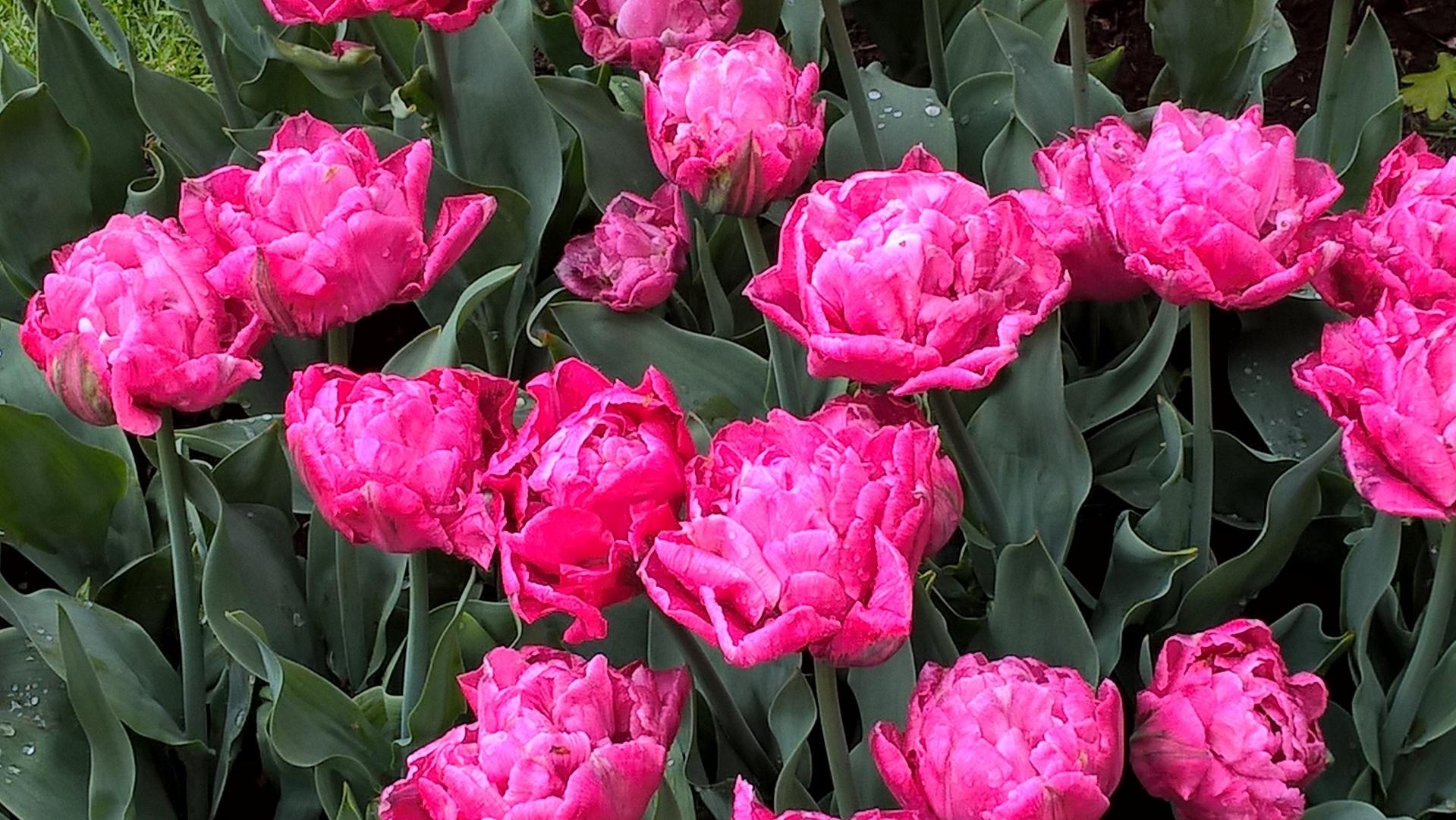 05-18 Tulpen aus Amsterdam