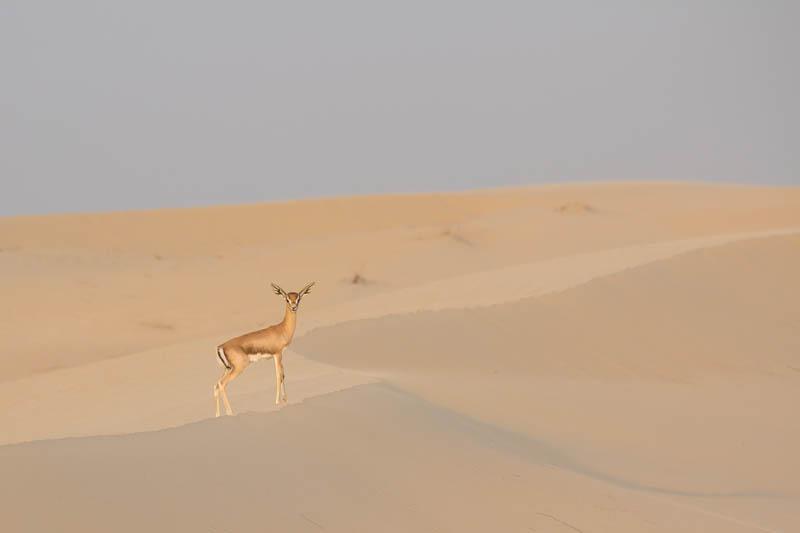 Sandgazelle