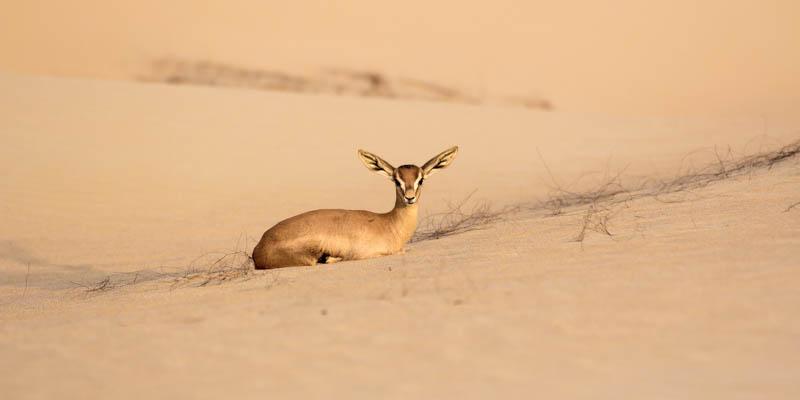 Sandgazelle ruhend
