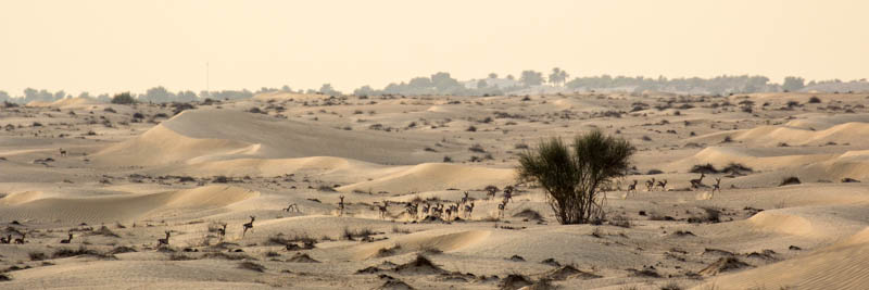 Sandgazellenherde