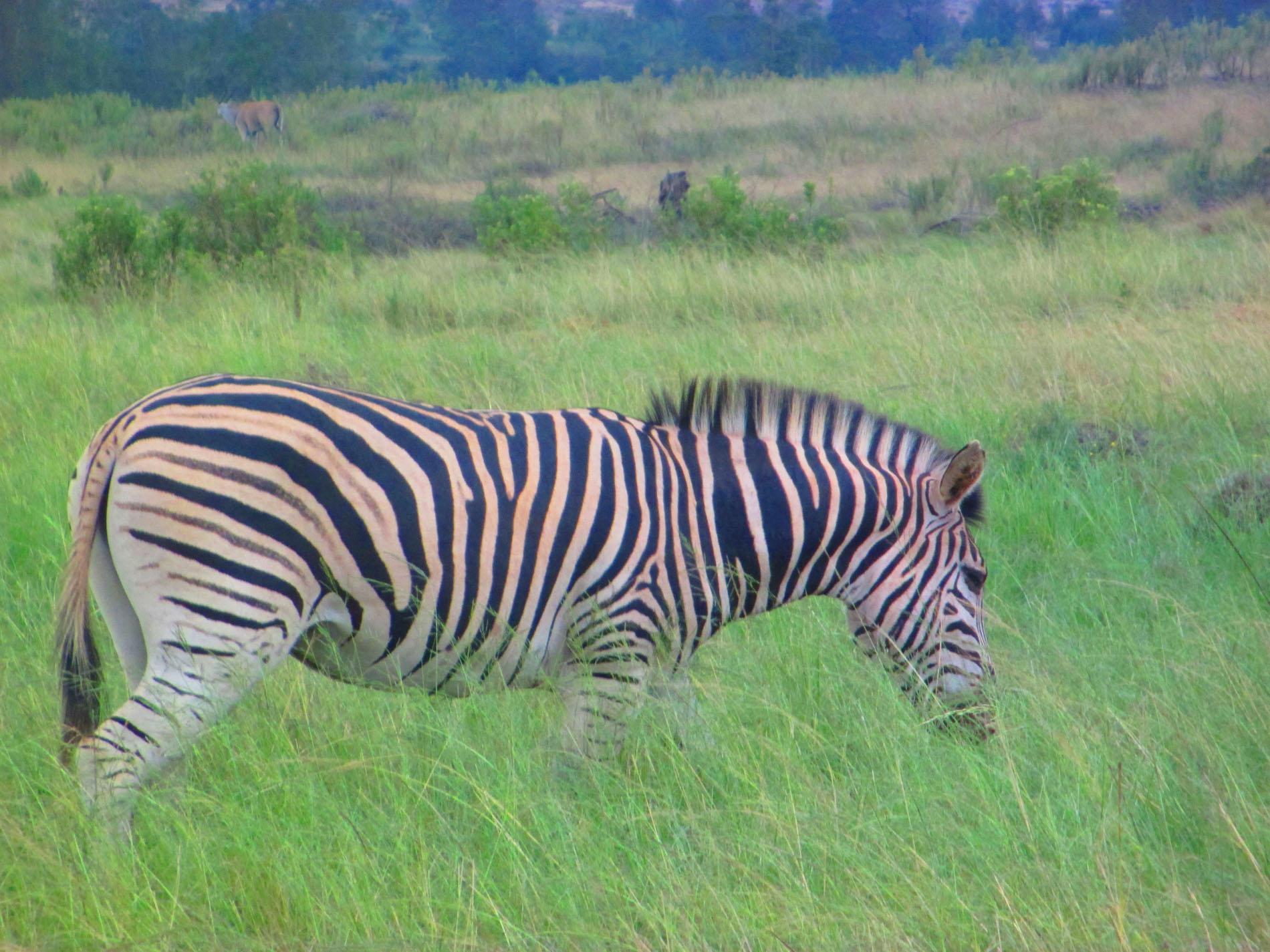 Zebra im Gondwana Game Reserve