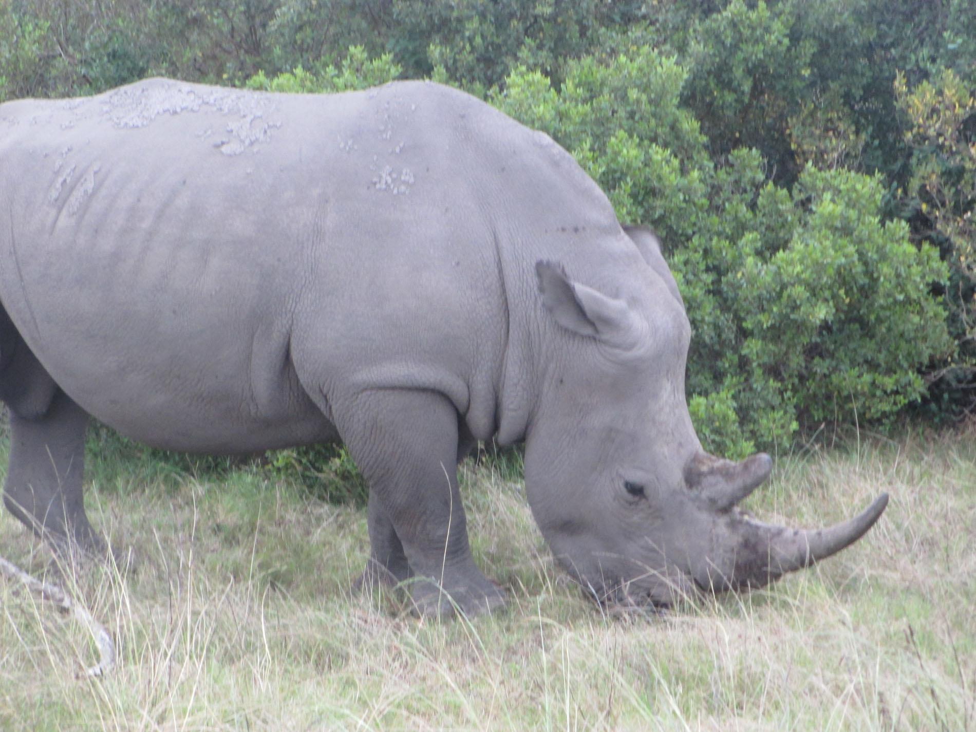 Rhinozeros im Gondwana Game Reserve