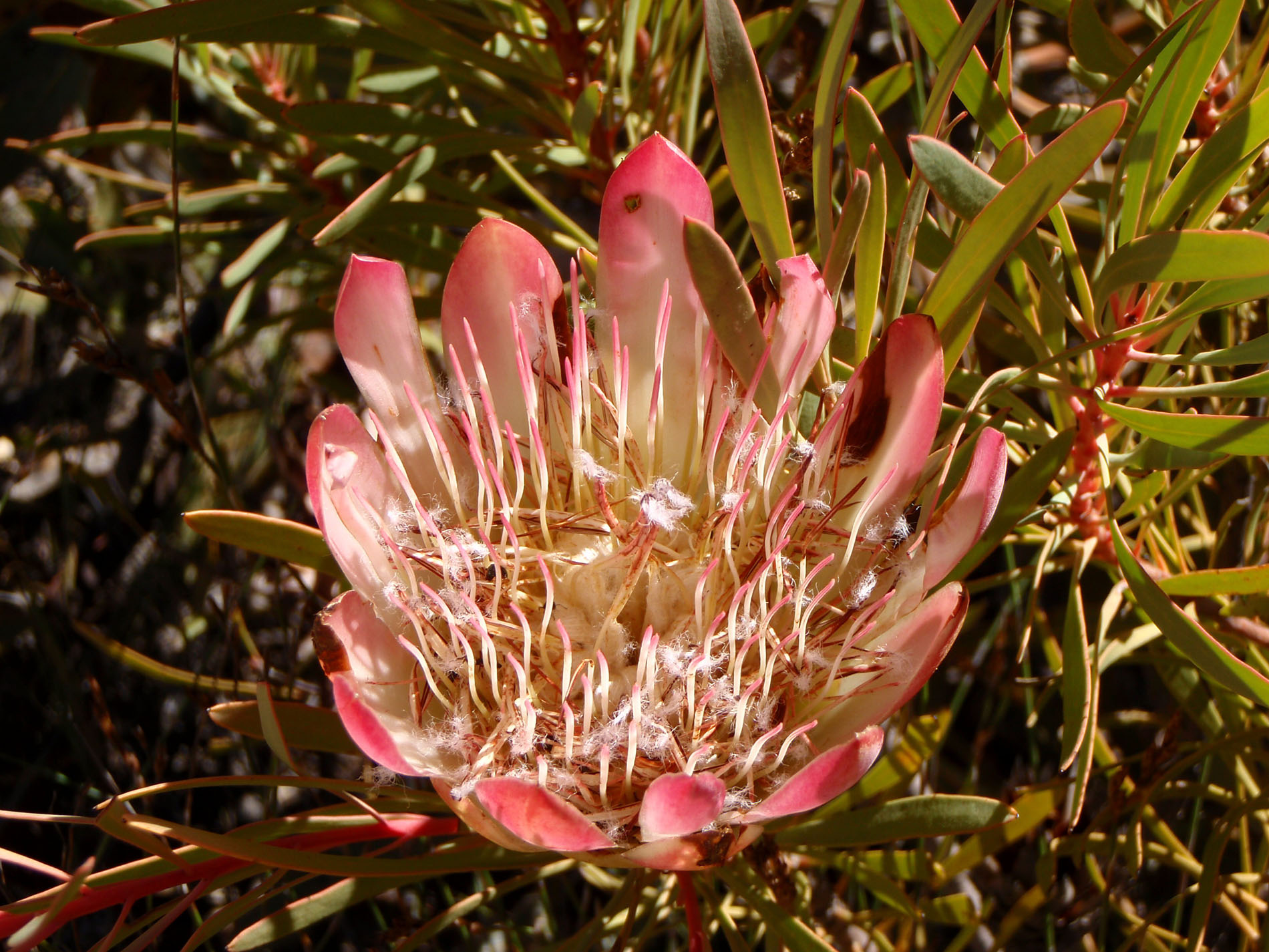 Protea, die Nationalblume
