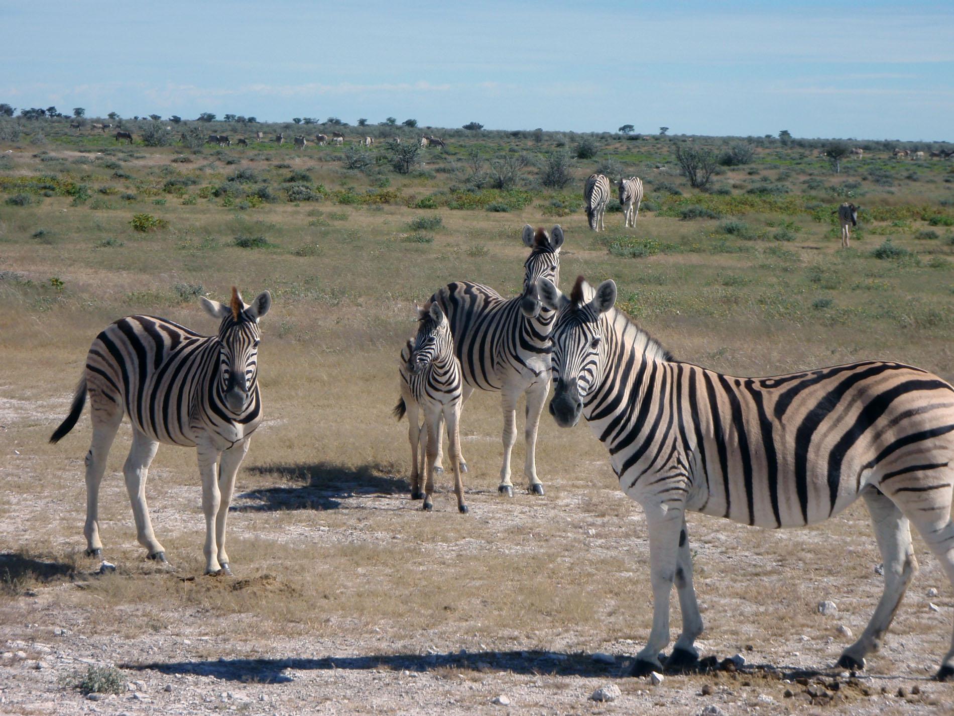Zebras in der Etosha