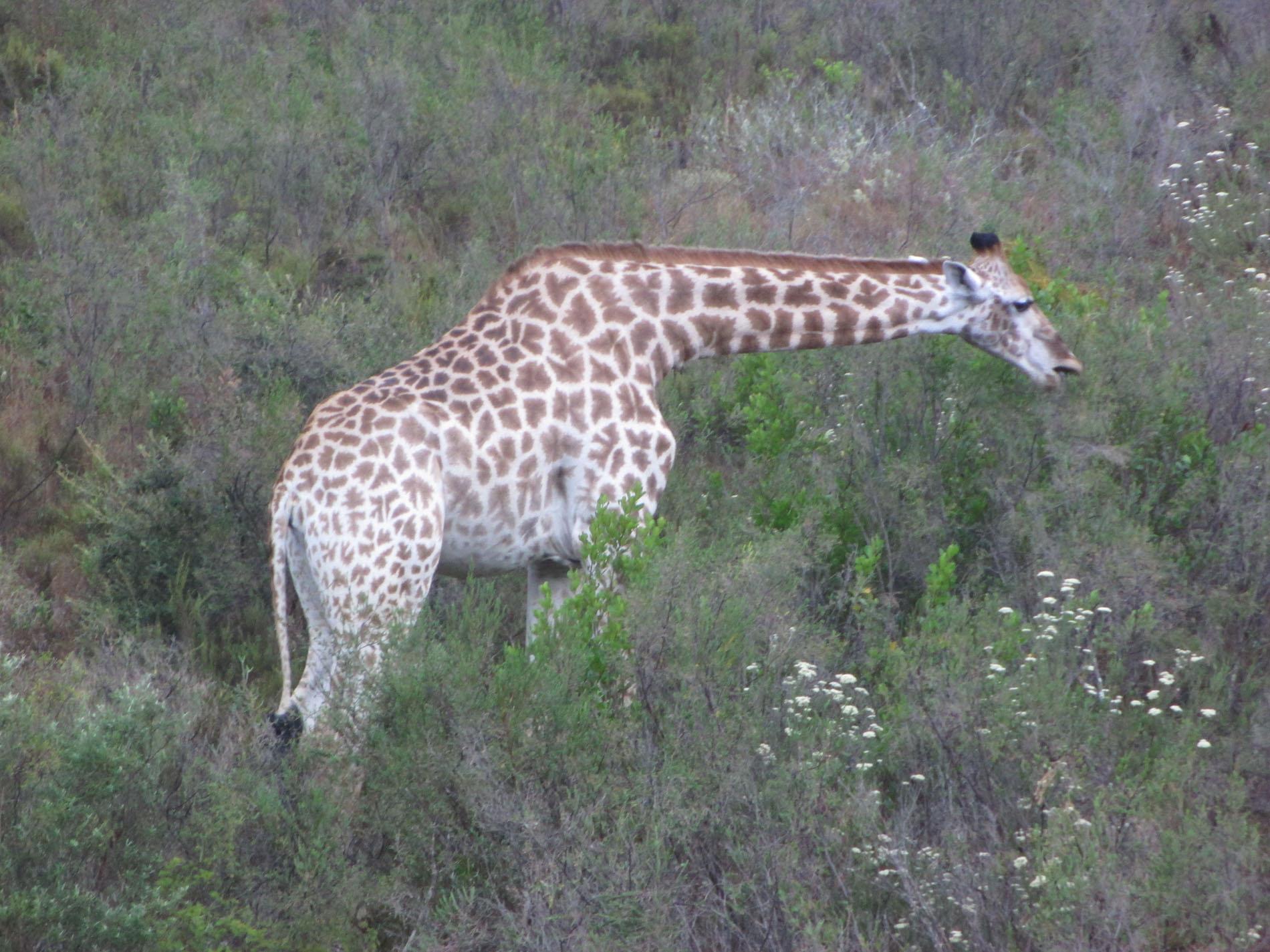 Giraffe im Gondwana Game Reserve