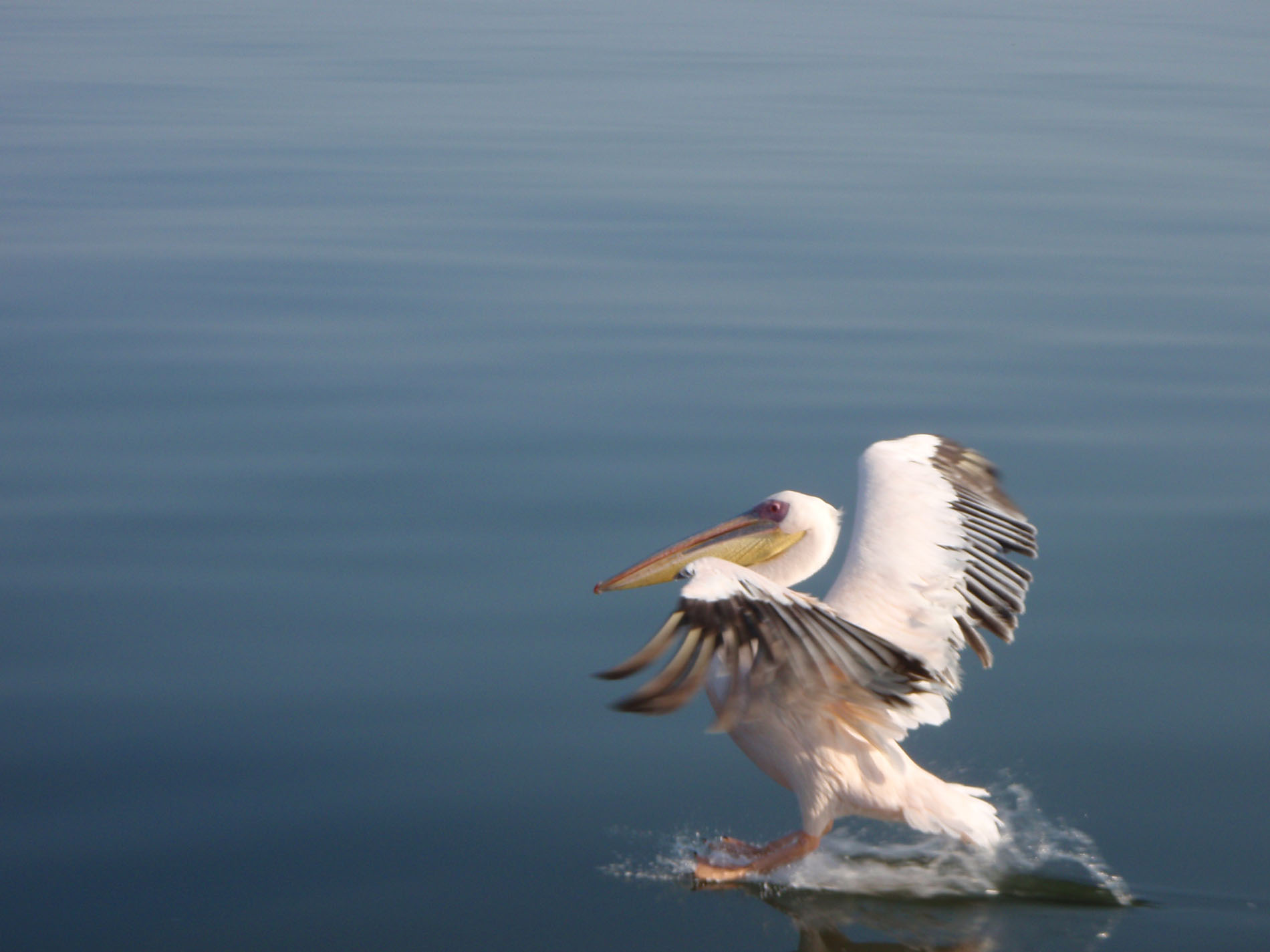 Pelikan bei Swakopmund