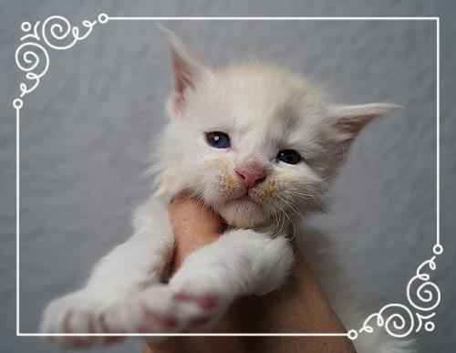 Maine Coon Kitten 3 Wochen