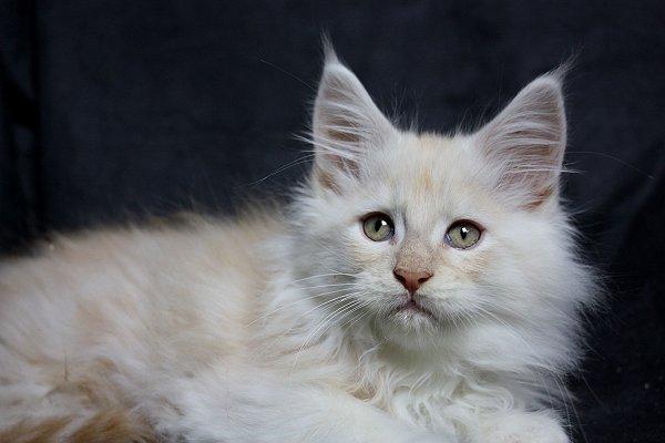 Maine Coon Kitten Siegerland No Name 11 Wochen