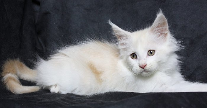 Maine Coon Kitten Iceman 11 Wochen