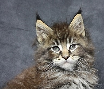 Amaro  black tabby Kater Kitten 7 Wochen