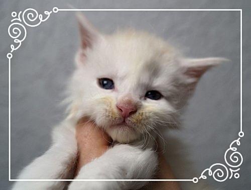 Maine Coon Kitten Iceman