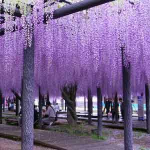 国指定天然記念物「熊野の長フジ」