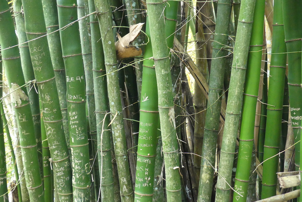 Bambou verts