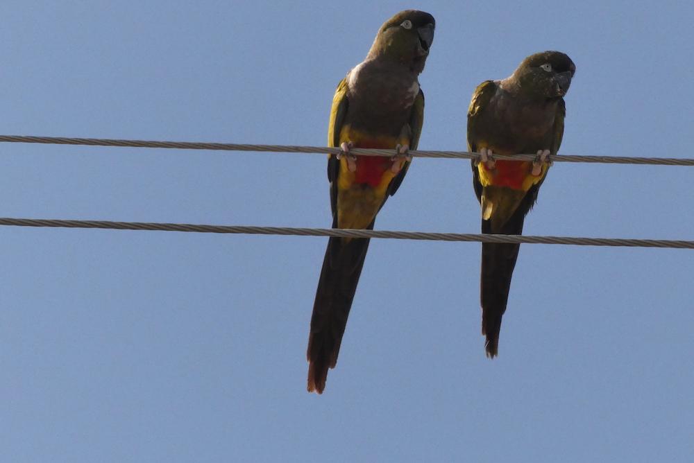 Perroquet. Nous passons 2 jours entourés de milliers de perroquets bruyants