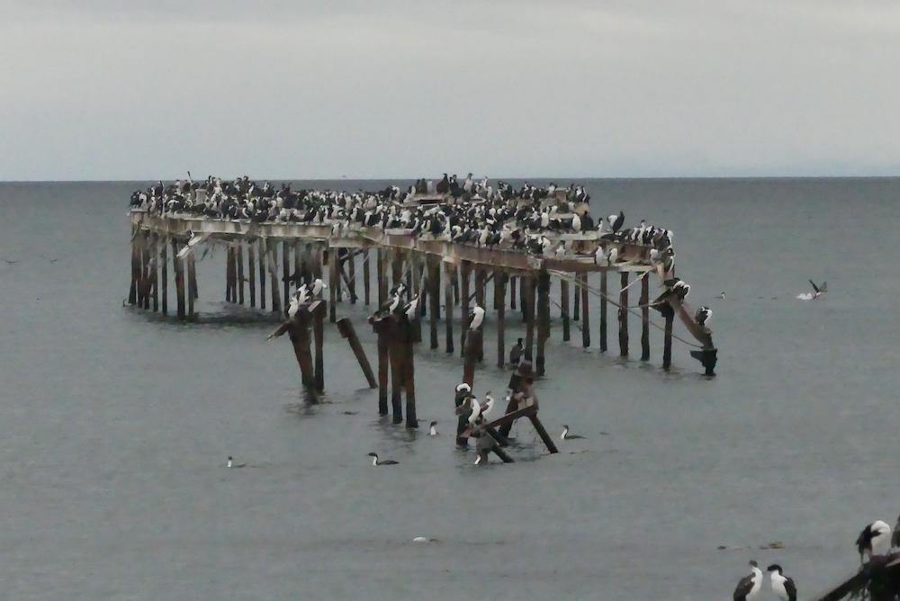 Le ponton des cormoran impériaux