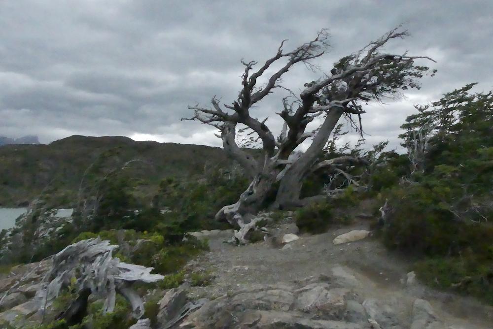 Arbre sculpté par le vent