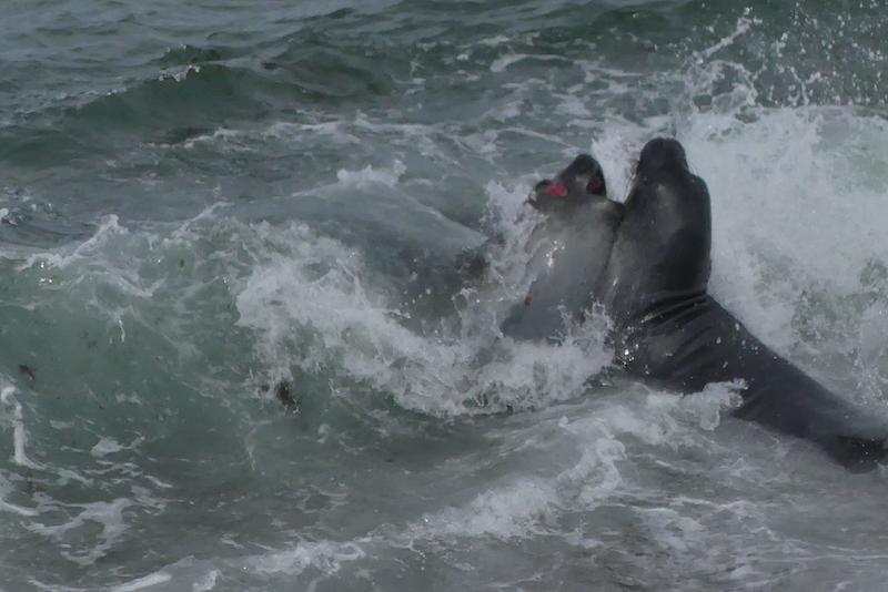 Lions de mer qui se battent.