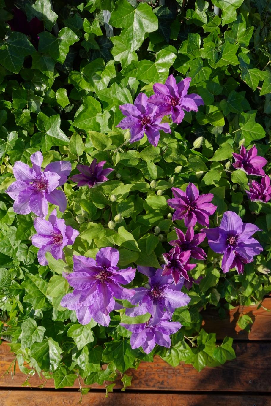 Die Passiflora sind heuer wieder ein (Farb-) Traum. Lo-ve-ly! 🤩