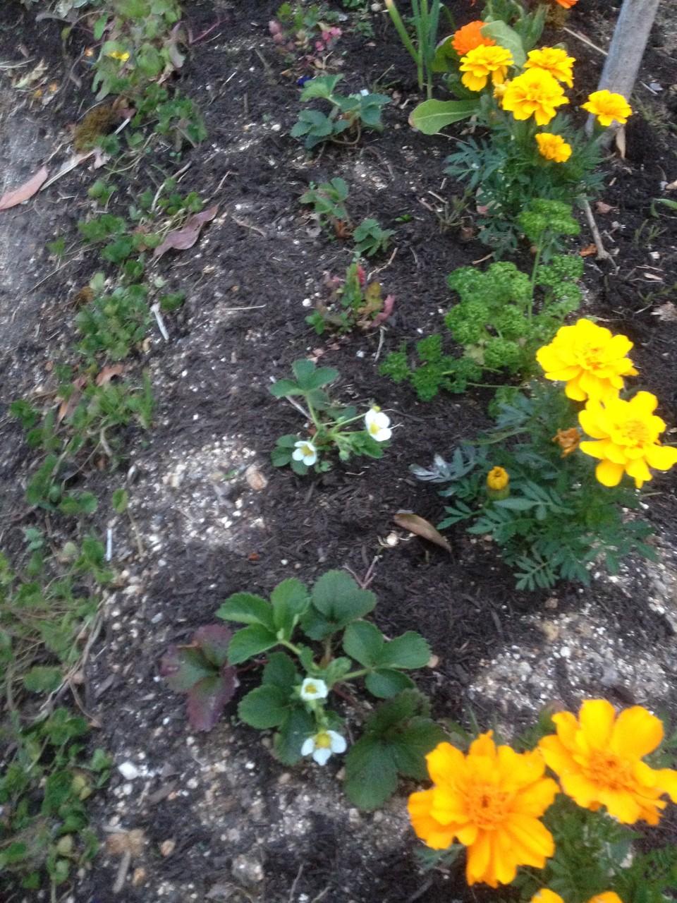 マリーゴールドは土中の線虫を忌避してくれます。