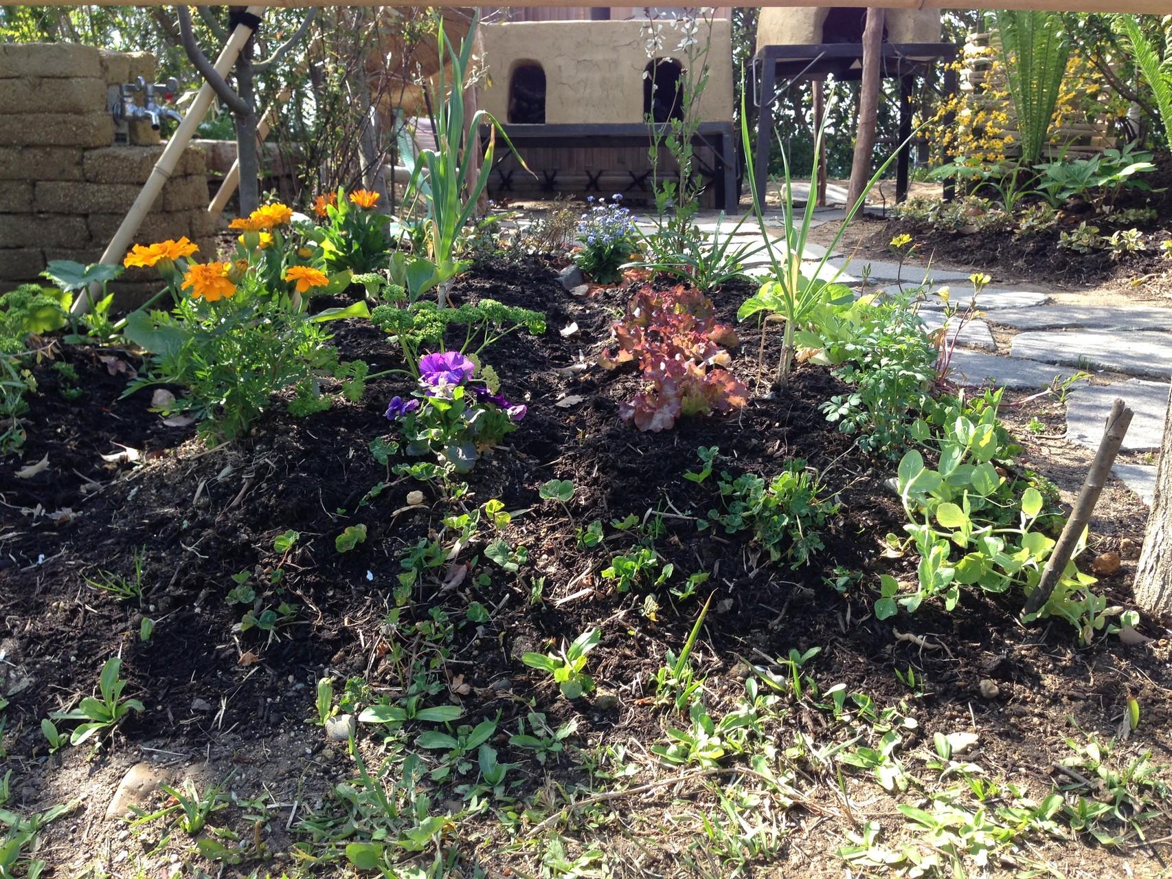 菜園も寄せ植えの様です。単一植物のみでは害虫にやられやすくなります。