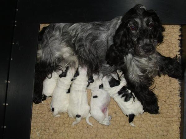 Pippa mit ihren Welpen (knapp eine Woche alt)
