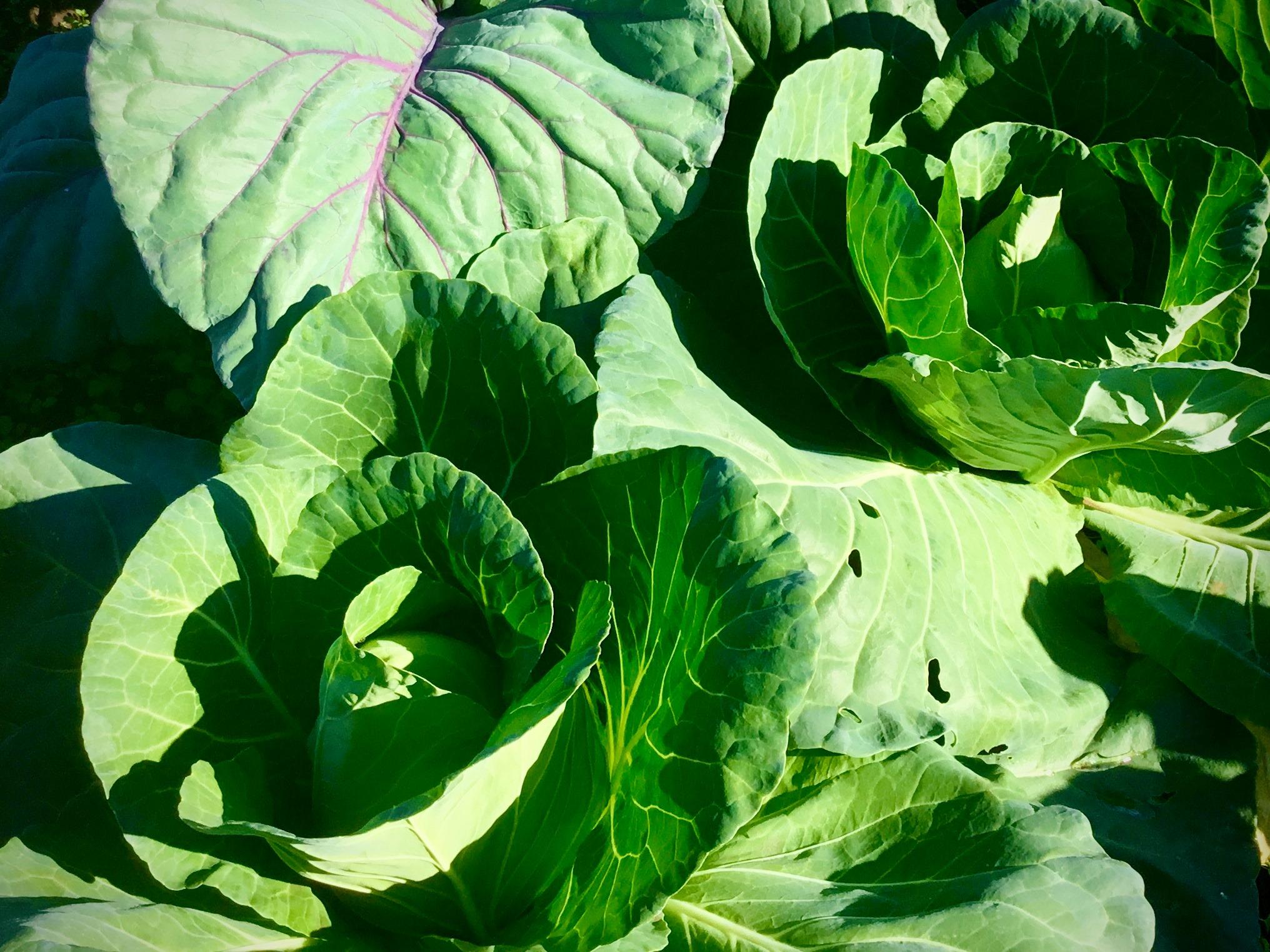 かなり強すぎる春の日差しを全面に受けて育つハクサイ、紫高菜、ニラ、ラッキョウ、春菊など