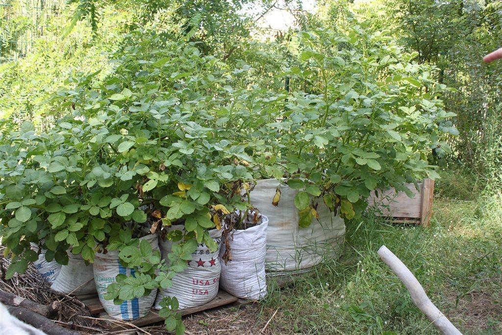 Prinzengarten, Kartoffelpflanzen  © Thorsten Haas