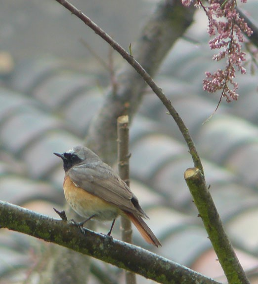 Jeanne du 47, un petit tour sur les chemins et son premier Rouge-queue front-blanc de l'année, Jeanne adore les oiseaux, elles les peint si bien.