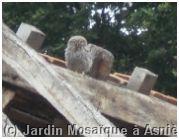 Chouette chevêche sur un toit de la ferme