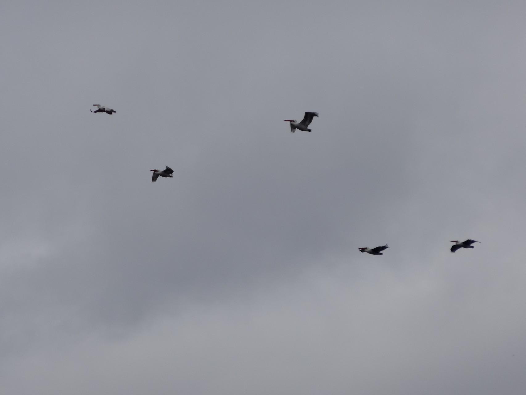 Les pelicans des lacs