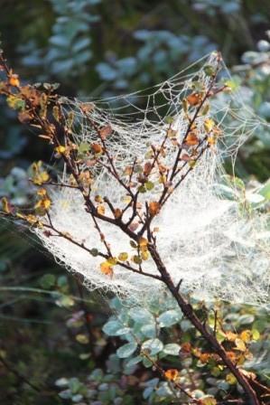 Spinnweben im Morgenreif