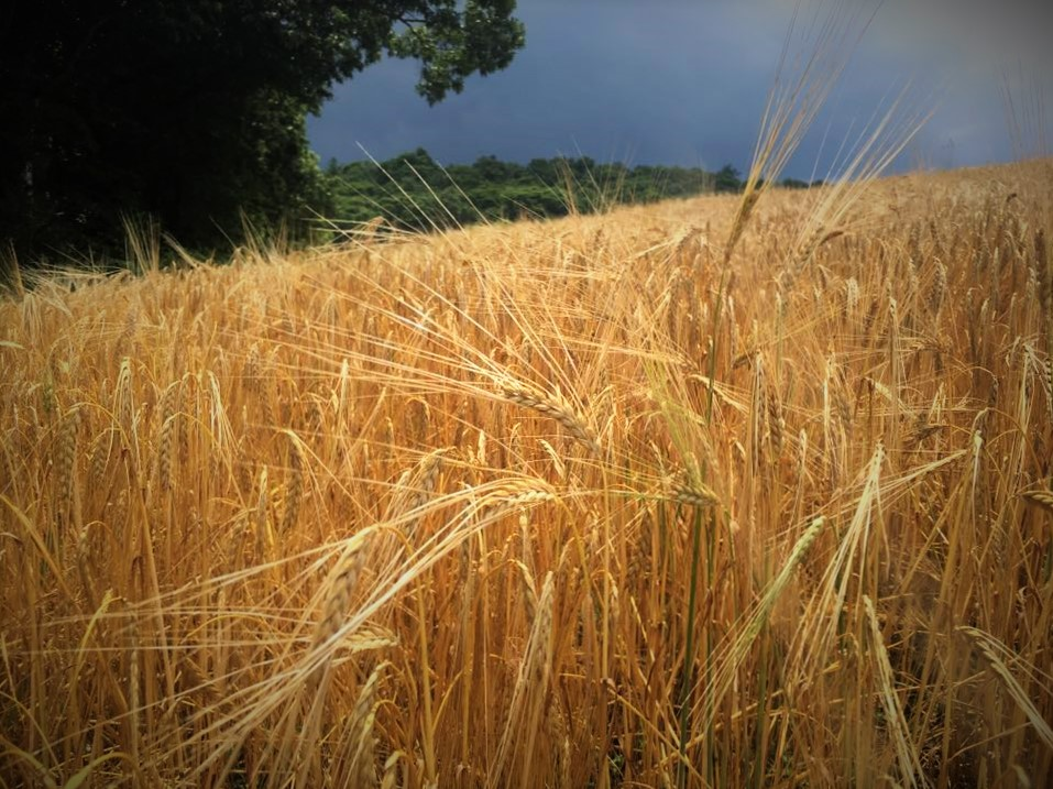 Snyder County barley field ready for harvest