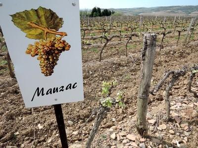 Un des quatre cépages du vignoble de Limoux, 100% de Mauzac pour faire la Blanquette du Limoux., méthode ancestrale.