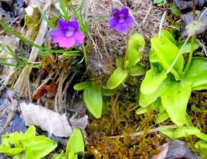 La Grassette, plante insectivore