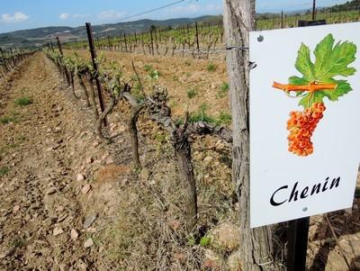 Un des quatre cépages du vignoble de Limoux. Le Chenin est ajouté à la Blanquette, mais surtout au Crémant.