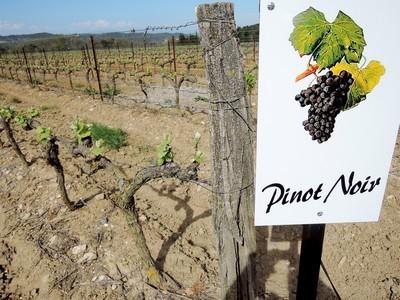 Un des quatre cépages du vignoble de Limoux. Le Pinot Noir pour faire du Crémant plus ou moins rosé.