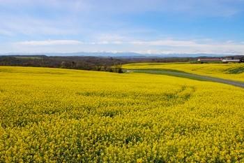 Les champs de colza devant la coulisse des Pyrénées encore enneigées!