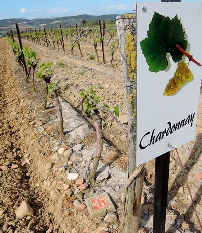 Un des quatre cépages du vignoble de Limoux. Le Chardonnay est ajouté à la Blanquette, au Crémént, mais donne aussi un excellant vin blanc tranquille.